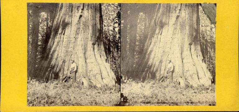 [Mariposa Grove] Big Tree in Mariposa Grove, 94 feet in circumference. California Views No. 13. ANTHONY, E. CO., Charles L. H. T. . Weed, publisher, photographer.