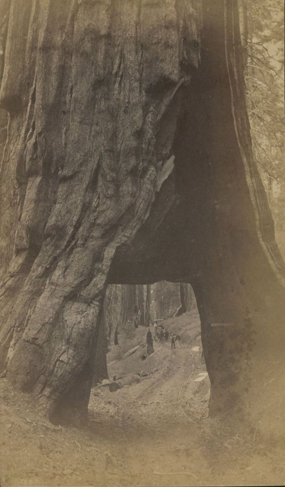 "[Mariposa Grove] ""Wawona"" [title supplied]. Albumen photograph. ANONYMOUS PHOTOGRAPHER."
