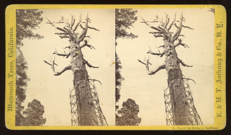 """[Calaveras Grove] """"Top of the Mother of the Forest."""" Mammoth Trees, California, no. 9. ANTHONY, E. CO., H. T., publisher."""