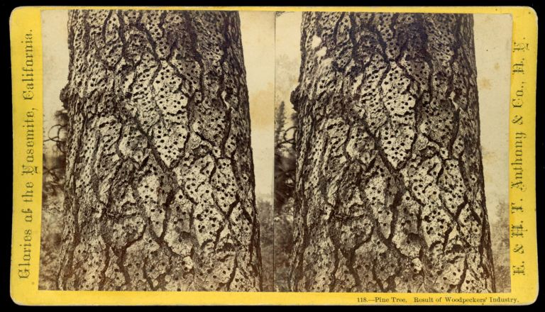 """[Yosemite] """"Pine Tree. Result of Woodpeckers' industry."""" Glories of the Yosemite, California, no. 118. ANTHONY, E. CO., H. T., publisher."""