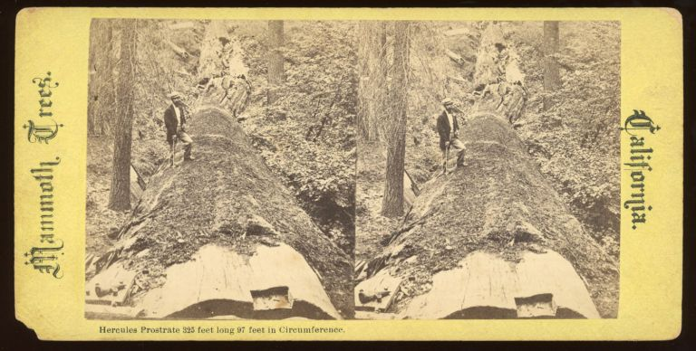"""[Calaveras Grove] """"Hercules prostrate 325 feet long 97 feet in circumference."""" Mammoth Trees, California, no number. ANONYMOUS PHOTOGRAPHER."""
