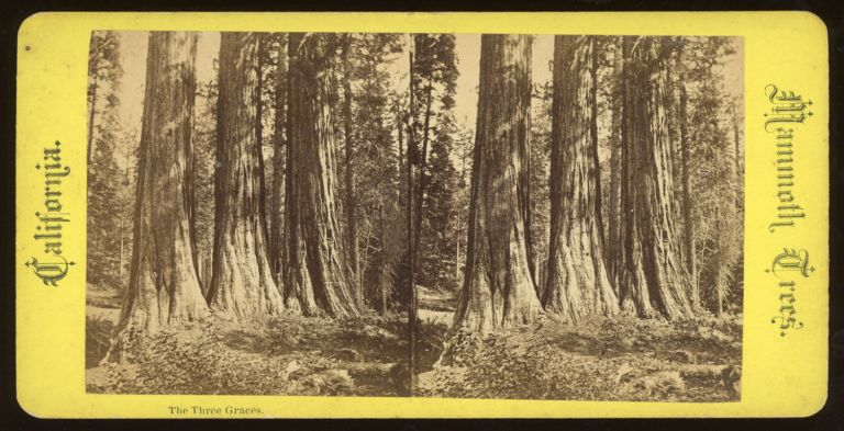 """[Calaveras Grove] """"The Three Graces."""" Mammoth Trees, California, no number. ANONYMOUS PHOTOGRAPHER."""