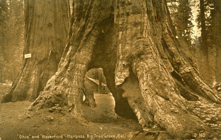"[Mariposa Grove] ""Ohio"" and ""Haverford"" -- Mariposa Big Tree Grove, Cal. ANONYMOUS PHOTOGRAPHER."