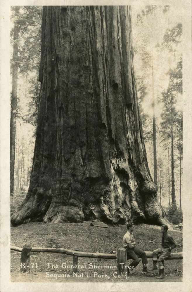 [Sequoia National Park] The General Sherman Tree Sequoia Nat'l. Park, Calif. No. R-71. Real photo postcard (RPPC). ANONYMOUS PHOTOGRAPHER.