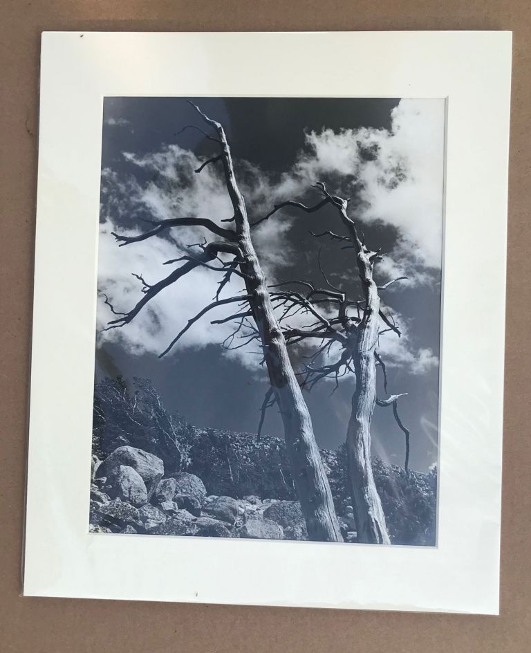 High Sierra, dead trees [title supplied]. Gelatin silver print. UNCREDITED PHOTOGRAPHER.