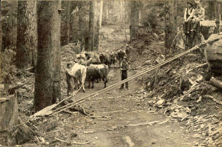 LUMBERJACKS USING A CHOCKER TO PULL A LOG ONTO A SKID ROAD [title supplied]. Dry-plate photograph. Oregon, Logging.