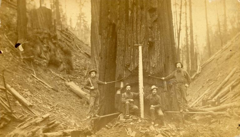 TWO PHOTOGRAPHS OF LUMBERJACKS AND LUMBERING, PROBABLY IN NORTHERN CALIFORNIA: LUMBERJACKS POSING WITH THEIR EQUIPMENT IN FRONT OF A TREE THEY ARE FELLING and A LARGE GROUP OF MEN POSING IN FRONT OF A LARGE LOG AND A STEAM DONKEY [titles supplied]. Albumen prints. California? Humboldt County? Logging, Unidentified photographer.