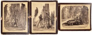 Sequoia gigantea] Three albumen photographs of settlers in a southern Sierra Nevada grove of big...