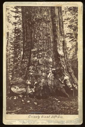 Mariposa Grove] Grizzly Giant 33 ft. dia. Albumen print. GUSTAV FAGERSTEEN