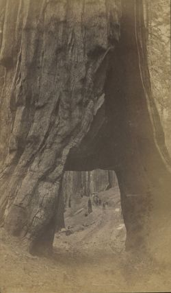 "Mariposa Grove] ""Wawona"" [title supplied]. Albumen photograph. ANONYMOUS PHOTOGRAPHER"