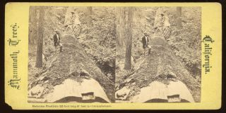"Calaveras Grove] ""Hercules prostrate 325 feet long 97 feet in circumference."" Mammoth Trees,..."