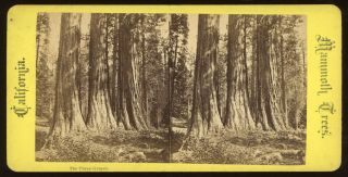 "Calaveras Grove] ""The Three Graces."" Mammoth Trees, California, no number. ANONYMOUS PHOTOGRAPHER"