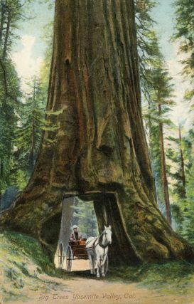 Mariposa Grove] Big trees Yosemite Valley, Cal. ANONYMOUS PHOTOGRAPHER